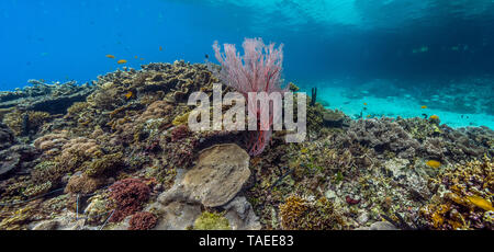 Tara Pacific expedition - november 2017 Back Reef with small lagoon, red sea fan (Melithaea sp), Restorf Island, Kimbe Bay, papua New Guinea, D: 1 m, stitched panorama 10534 x 4906 px - Stock Photo
