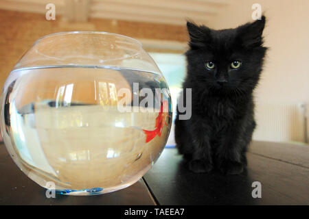Young black domestic cat on a table watching a goldfish in his jar - Stock Photo