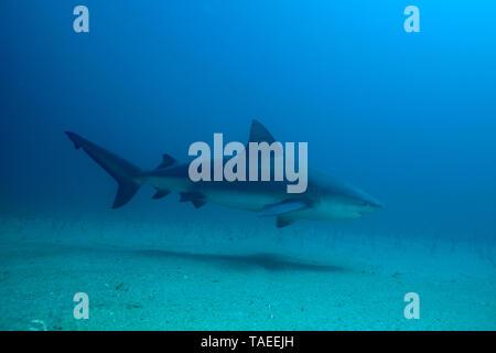 Bull shark (Carcharhinus leucas) swimming above a detritic bottom of Cabo Pulmo National Park in Baja California. Sea of Cortez. Mexico - Stock Photo