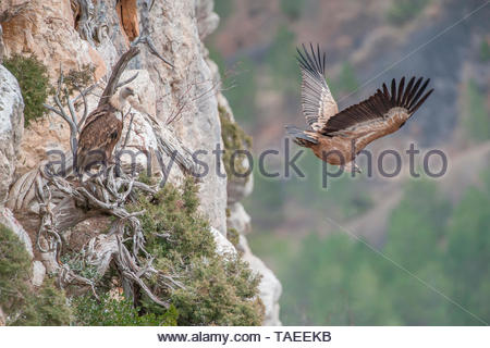 Flying vulture (Gyps fulvus) in flight, Drôme, France - Stock Photo