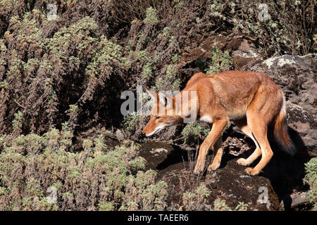 Abyssinian wolf (Canis simensis), adult hunting on the lookout, Bale mountains, Ethiopia - Stock Photo