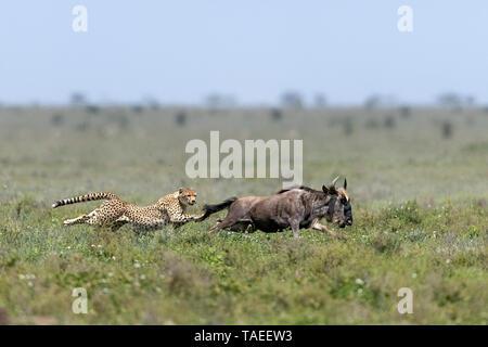 Cheetah (Acinonyx jubatus) pursing its prey, a Blue wildebeest (Connochaetes taurinus), Serengeti, Tanzania