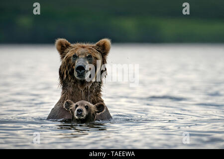 Kamchatka brown Bear (Ursus arctos beringianus) bear wirh her cub in water, Kamchatka, Russia - Stock Photo