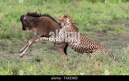 Cheetah (Acinonyx jubatus) catching a young wildebeest (Connochaetes taurinus), Serengeti, Tanzania