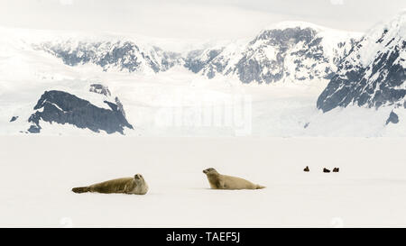 Two Crab-eating Seals (Lobodon carcinophaga) and Brown Skua (Catharacta antarctica) resting on pack ice in Wilhelmina Bay, Antarctica - Stock Photo