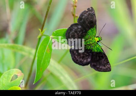 Skipper (Gorgopas trochilus) in tropical Amazon, Peru - Stock Photo