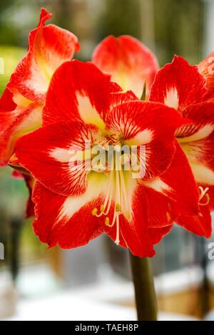 Red Amaryllis (Hippeastrum) Close-Up - Stock Photo