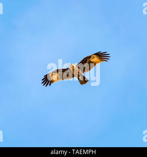 Square view of a juvenile Brahminy kite in India. - Stock Photo