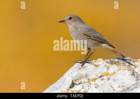 Black Redstart (Phoenicurus ochruros gibraltariensis), Standing on a rock, Campania, Italy, - Stock Photo