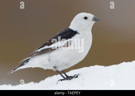 Snow Bunting (Plectrophenax nivalis), adult standing on the snow, Finnmark Norway - Stock Photo
