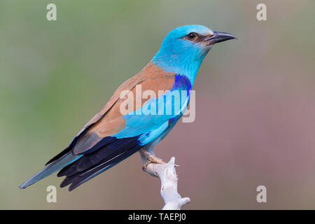 European Roller (Coracias garrulus), side view of an adult perched on a branch, Basilicata, Italy - Stock Photo