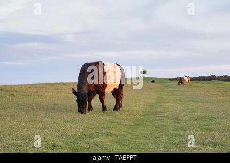 Belted Galloway cow grazing on Cleeve hill common at sunrise in the cotswold countryside. Cotswolds, Gloucestershire, England - Stock Photo