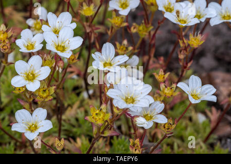 Mossy saxifrage / Dovedale moss (Saxifraga hypnoides) in flower - Stock Photo