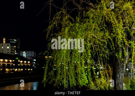 Kyoto, Japan closeup of willow tree green weeping leaves along Kamo river at night with bokeh background of illuminated buildings - Stock Photo