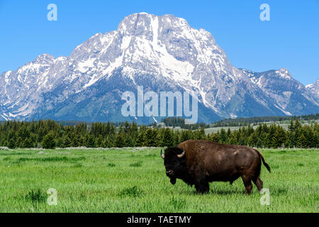 A bison in a field with Mt. Moran in the background in Grand Teton National Park near Jackson Hole, Wyoming USA. - Stock Photo