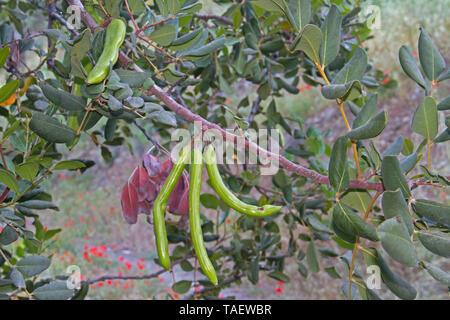 Carob tree or Locust bean with pods - Stock Photo