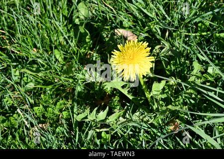 yellow hawkbit in the meadow - Stock Photo