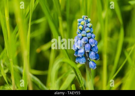 Blue grape hyacinth, an early spring perennial bulbous plant, growing in a fresh green grass on a sunny day in a garden. - Stock Photo