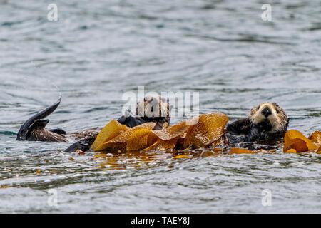 Sea otters (Enhydra lutris) wrapped in kelp in Quatsino Sound off the northwestern Vancouver Island shore, Cape Scott, British Columbia, Canada. - Stock Photo