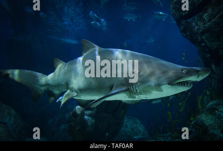Great white shark picture underwater sea swimming marine life in ocean - large Ragged Tooth Shark or Sand Tiger Shark - Stock Photo