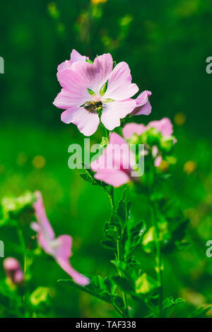 a bee collects nectar from the beautiful wild pink flowers (lavatera Thuringian) in the summer - Stock Photo