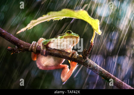 Sooner or later it will stop raining. Italian Tree Frog (Hyla intermedia), Luzzara, Reggio Emilia, Italy - Stock Photo