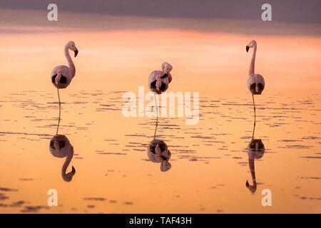 flamingos at sunset It's time to rest in the Laguna Chaxa. Atacama Desert Chile - Stock Photo