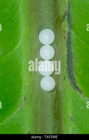 Owl Butterfly (Caligo memnon) eggs on a leaf, Greenhouse of the botanical garden of Nancy, Lorraine, France - Stock Photo