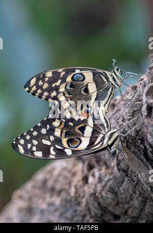 Citrus Swallowtail (Papilio demodocus) mating, Greenhouse of the botanical garden of Nancy, Lorraine, France - Stock Photo