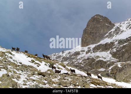 Alpine Chamois Flock (Rupicapra rupicapra) grazing in the Gordolasque Valley in autumn, Mercantour National Park, Alps, France - Stock Photo