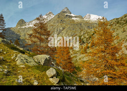 European larch (Larix decidua) in the Gordolasque valley in autumn, Mercantour National Park, Alps, France - Stock Photo