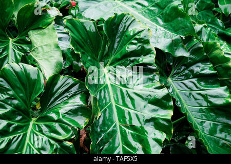 Alocasia (Alocasia macrorrhiza), Les Mamelles, Botanical and Zoological Park, Guadeloupe - Stock Photo