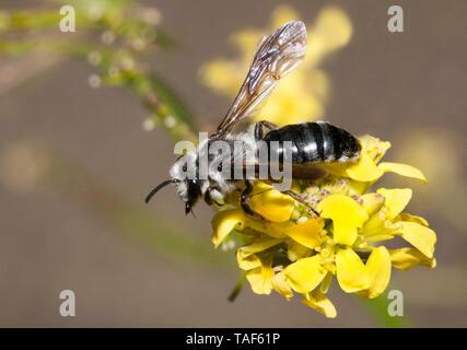 Solitary bee (Andrena agilissima) on Black mustard (Brassica nigra), Pays de Loire, France - Stock Photo
