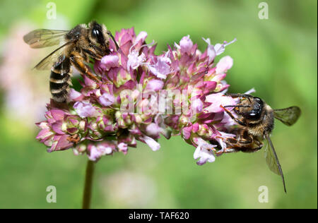 Grey-banded Mining Bee (Andrena denticulata) on Oregano (Origanum vulgare), Regional Natural Park of Northern Vosges, France - Stock Photo