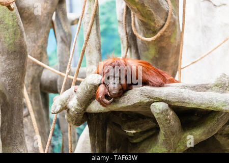 An adult orangutan laying on some rocks and looking towards the camera. - Stock Photo