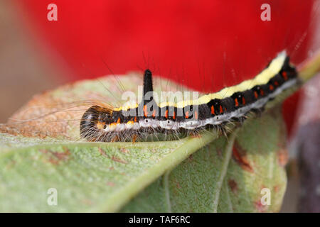 Grey Dagger (Acronicta psi) caterpillar on a leaf, Brittany, France - Stock Photo