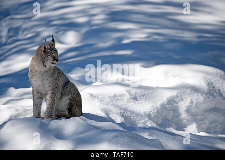Eurasian lynx (Lynx lynx) in the snow - Stock Photo