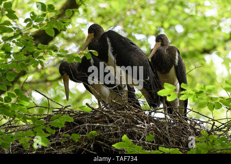 Black stork (Ciconia nigra) juvenile ready to fly, Vosges, France - Stock Photo