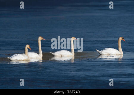 Mute swan (Cygnus olor) on water, Lac du der, Champagne, France - Stock Photo