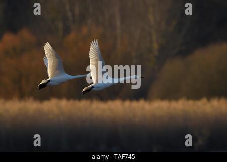 Tundra Swan (Cygnus columbianus) in flight, Lac du der, Champagne, France - Stock Photo