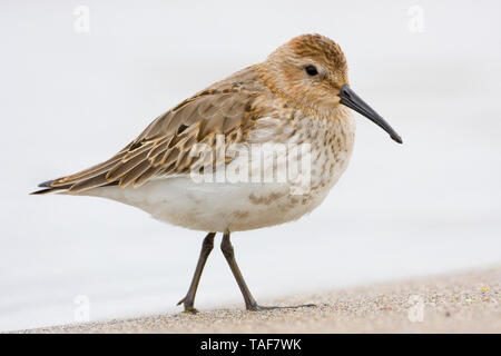 Dunlin (Calidris alpina), first winter individual standing on the shore, Campania, Italy - Stock Photo