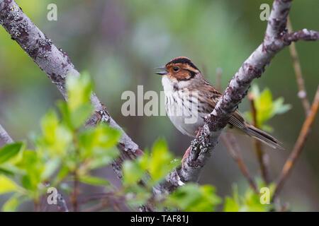 Little Bunting (Emberiza pusilla), adult male singing - Stock Photo