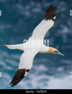 Northern Gannet (Morus bassanus), adult flying over the sea, Northeastern Region, Iceland - Stock Photo