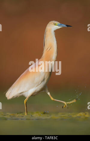 Squacco Heron (Ardeola ralloides), adult, Campania, Italy - Stock Photo
