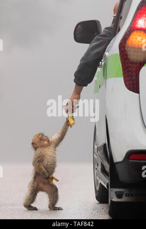 Barbary Macaque (Macaca sylvanus), cub taking food from a human, Fes-Meknes, Morocco - Stock Photo