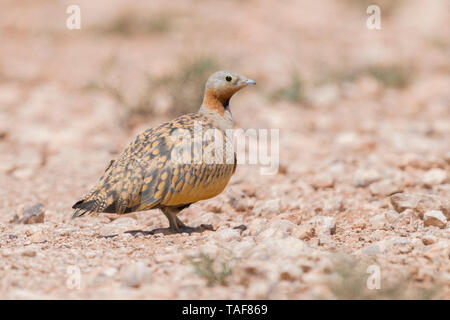 Black-bellied Sandgrouse (Pterocles orientalis), adult male standing on the ground, Draâ-Tafilalet, Morocco - Stock Photo