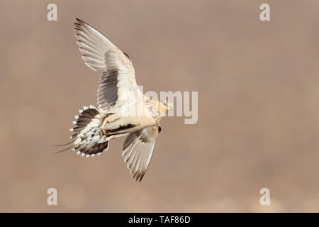 Spotted Sandgrouse (Pterocles senegallus), adult female in flight, Draâ-Tafilalet, Morocco - Stock Photo