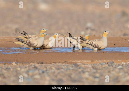 Spotted Sandgrouse (Pterocles senegallus), small flock at drinking pool, Draâ-Tafilalet, Morocco - Stock Photo