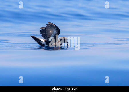 European Storm Petrel (Hydrobates pelagicus melitensis), individual in catching food on the water surface, Tuscany, Italy - Stock Photo