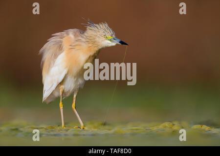 Squacco Heron (Ardeola ralloides), adult shaking its body, Campania, Italy - Stock Photo